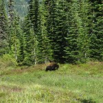 Bear at Bench Lake